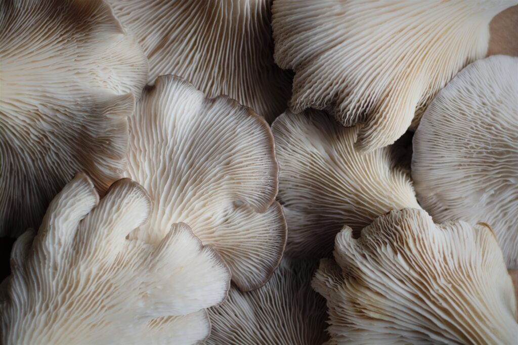 Summer Oyster Mushroom From Beneath